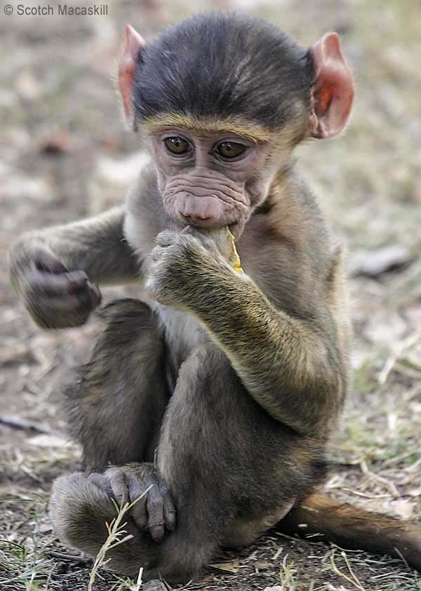 Baboon baby sucking orange peel