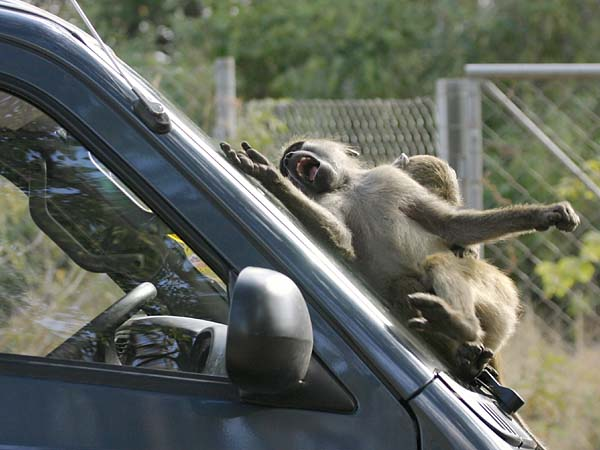 Baboons playing on vehicle