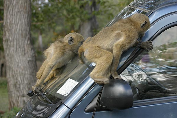 Baboons damaging vehicle