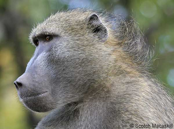 Portrait of chacma baboon