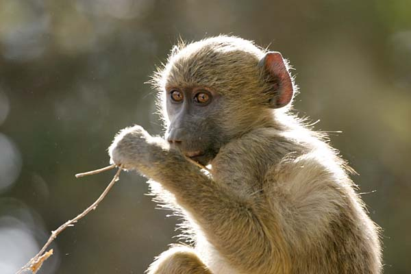 Baboon youngster in tree, backlit