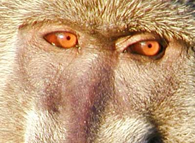 Cropped pictue of baboon