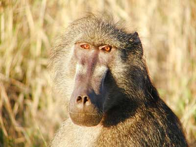 Picture of baboon resized