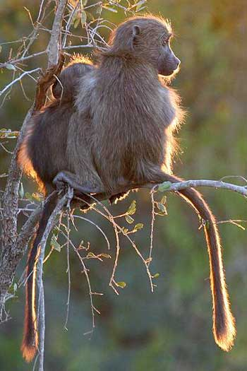 Young baboons in tree, backlit
