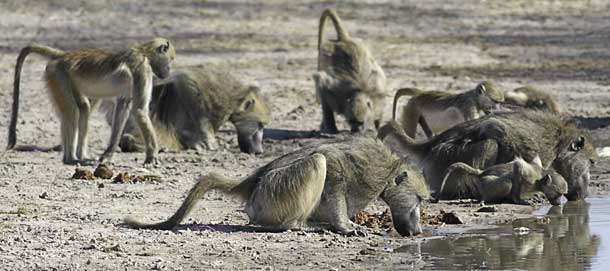 Baboons bending to drink from pan, Hwange National Park, Zimbabwe