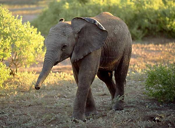 Baby Elephant photo, Botswana