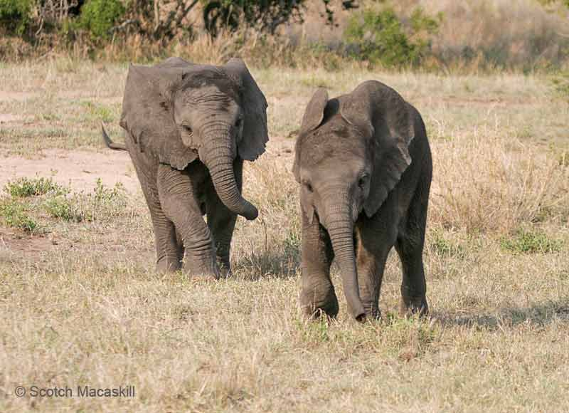 Baby elephant follows one in front