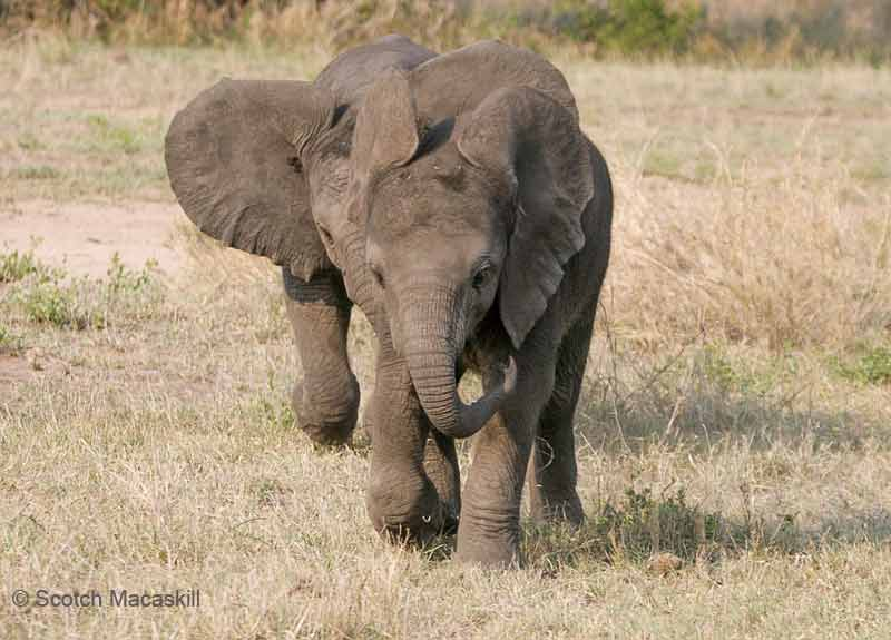 Baby elephant gets in step with leader