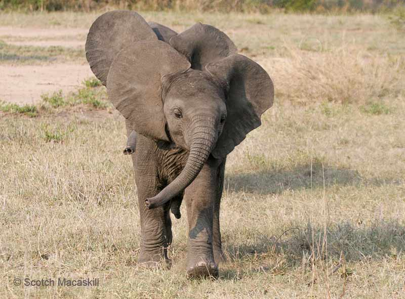 Baby elephants moving in co-ordination