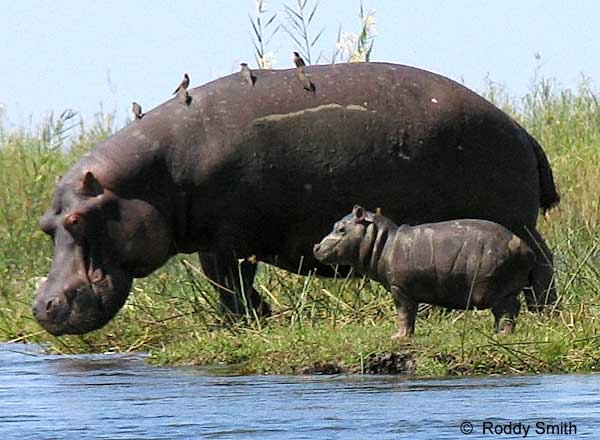 Picture of Baby Hippo with Mother on riverbank