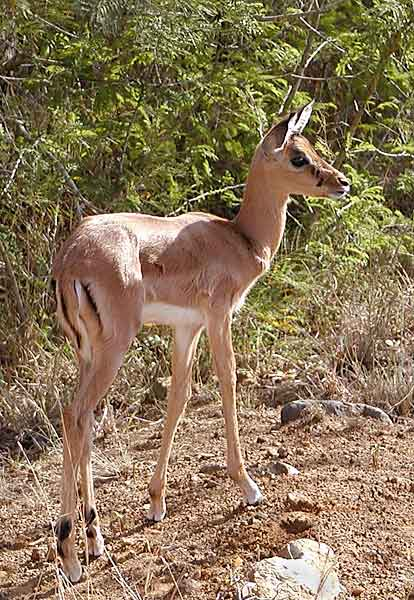 Picture of baby Impala antelope