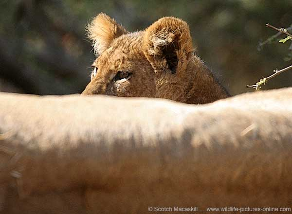 Baby Lion with mother lying in foreground