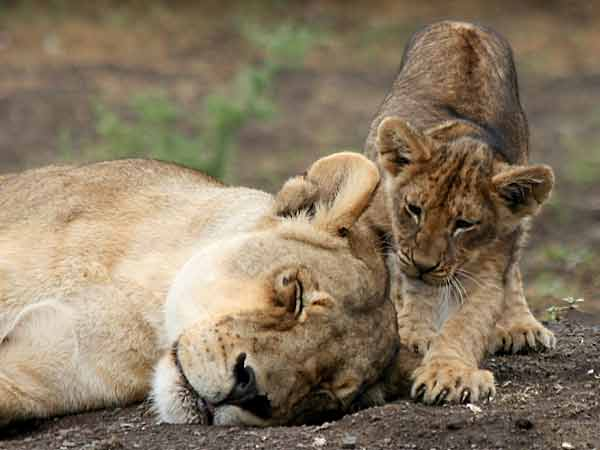 Baby lion with sleeping mother, Mashatu Game Reserve, Botswana
