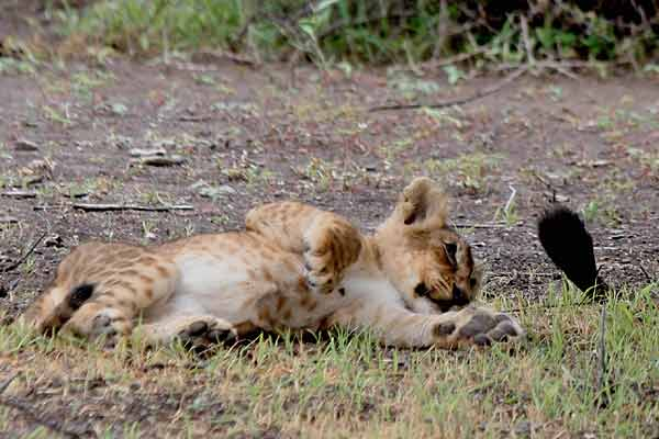 Baby lion playing with adult's tail, Botswana