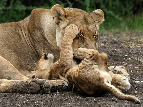 Baby lion playing with its mother, Mashatu GR, Botswana