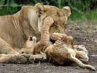 Baby lion cub tries to get mother to play