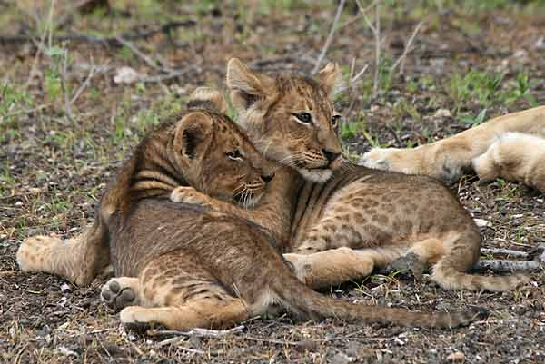Lion cubs showing affection, Mashatu Game Reserve, Botswana