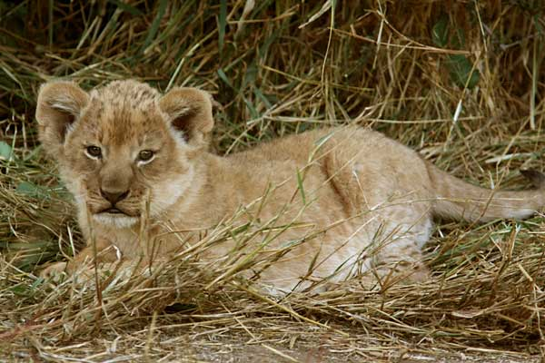 Baby lion cub lying in grass, Mashatu Game Reserve, Botswana