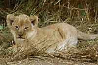baby lion cub lying in long gras