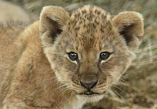 Baby lion portrait