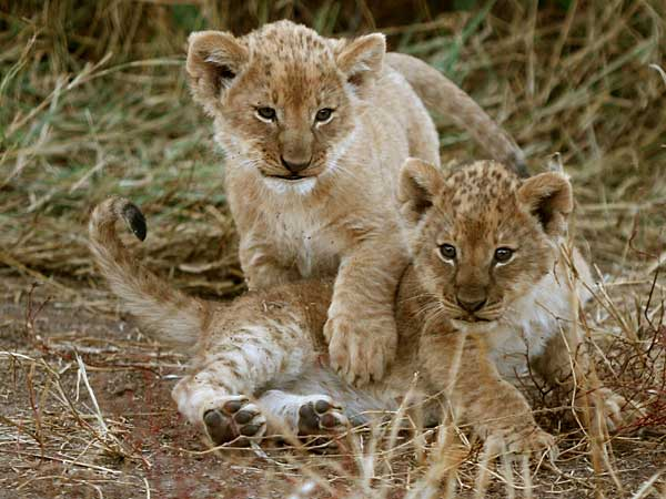 Newborn Lion Cubs