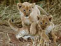 Baby lion cubs ready to play