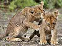 baby lions play fighting