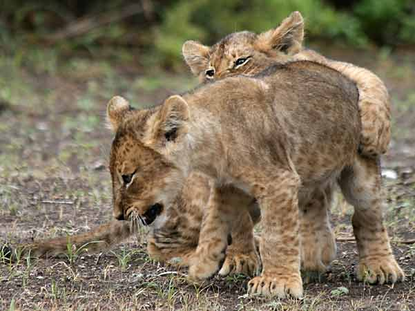 Baby lions learning hunting skills