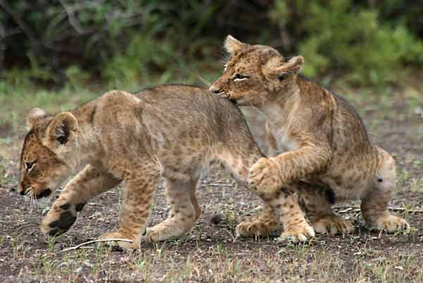 Baby lions play fighting, Mashatu Game Reserve, Botswana