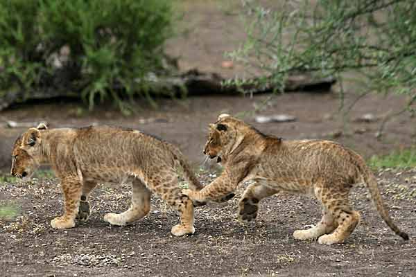 Baby lion siblings romping, Mashatu Game Reserve, Botswana