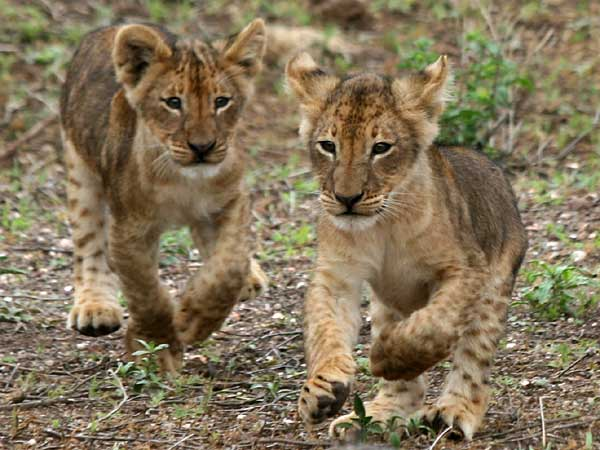 Lion cubs ready to romp, Mashatu Game Reserve, Botswana