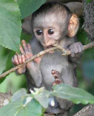 Baby vervet monkey sucking on twig