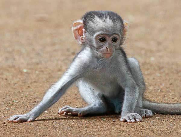 baby vervet monkey sitting on ground