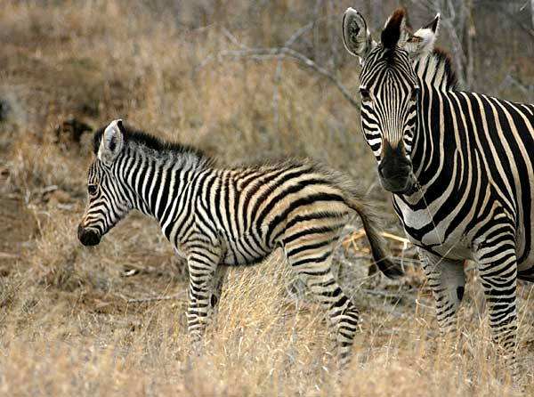 Baby zebra with mother, Kruger National Park