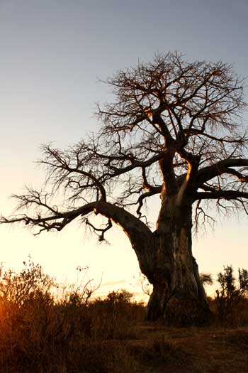 Baobab tree at sunset, Ruaha National Park, Tanzania