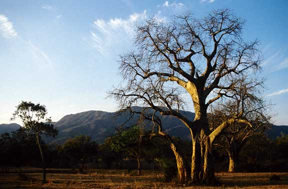Baobab Tree, Lower Zambezi National Park