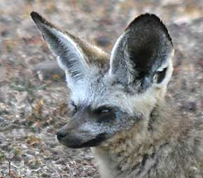 Bat-eared fox close-up of head