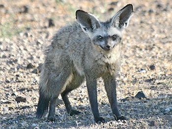 Bat-eared fox, three-quarter view showing head and body