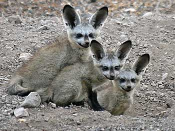Bat-eared fox pups at their burrow