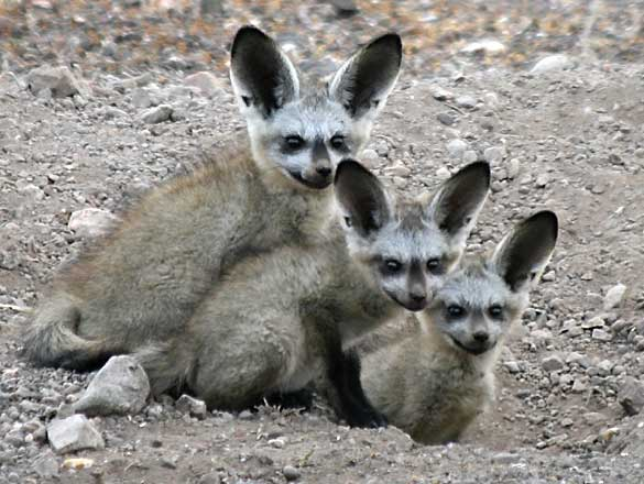 Curious bat-eared fox cubs