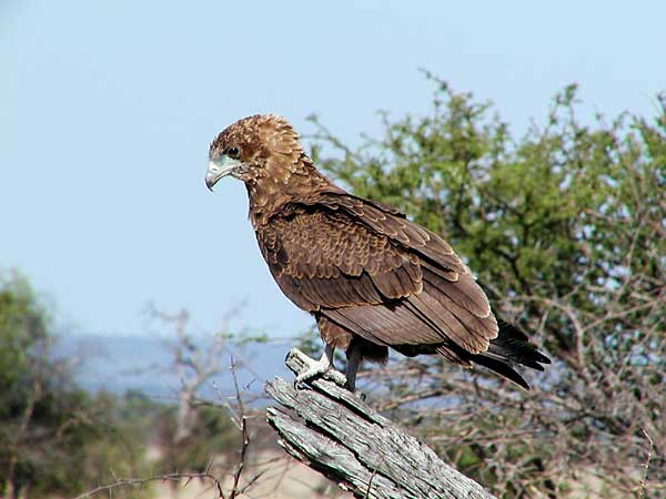Photo of bateleur eagle
