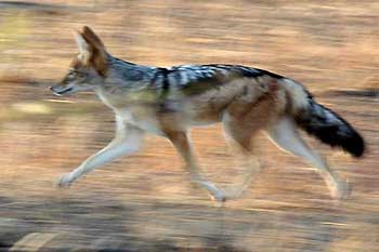 Blackbacked Jackal on the move