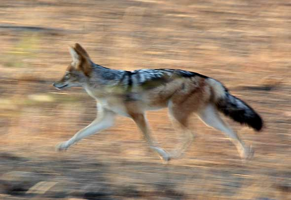 Panned photo of black-backed jackal