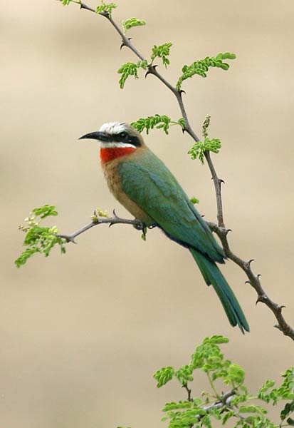 Whitefronted Bee-eater, side view