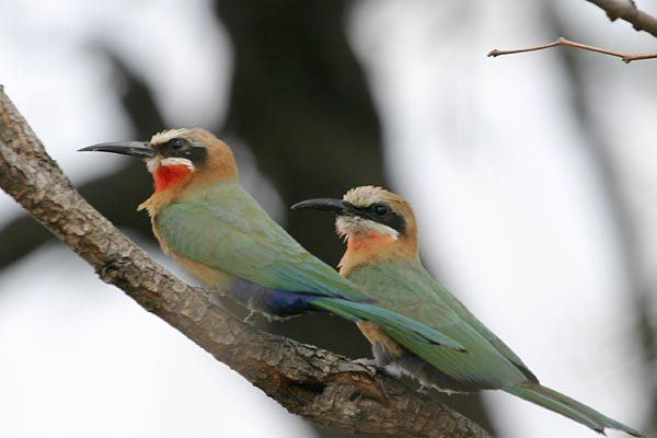 Pair of whitefronted bee-eaters