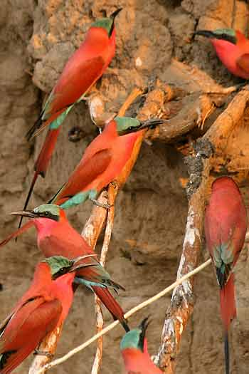 Carmine bee-eaters nesting in river bank, Shakawe, Botswana