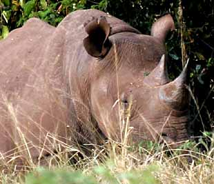 Black rhino - Big 5