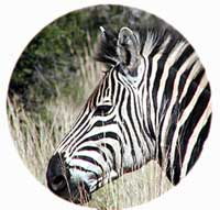 Picture of zebra through binoculars