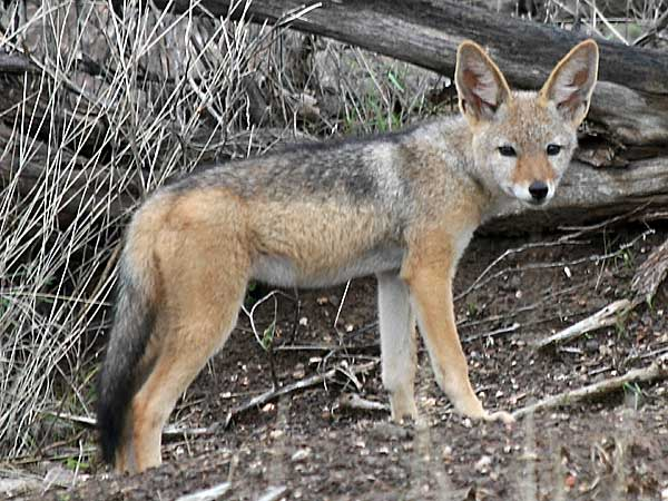 jackal pup near den, Kruger National park, South africa