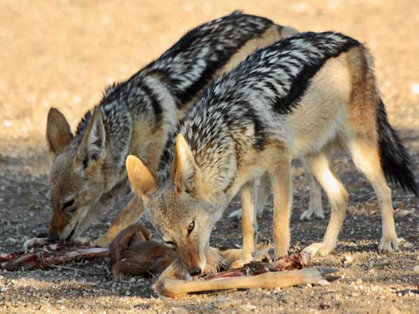 Jackal pair feeding on remains of antelope carcass